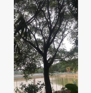 红皮榕米径5~80cm 全冠红皮榕 红皮榕袋苗 耐寒榕树 基地直销