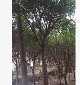 红皮榕米径10~60cm 全冠红皮榕 红皮榕袋苗 耐寒榕树 基地直销