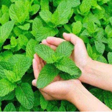 薄荷种子四季种易活开花不断花种籽室内食用猫盆栽花卉绿植物花籽