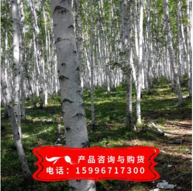 供应优质白桦树种子 白桦种子批发 实物拍照 质量保证