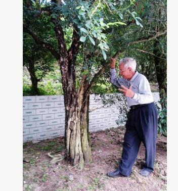 广东梅州大量供应名贵树木绿化环境 九里香