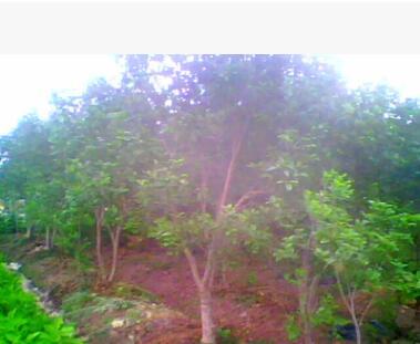 供应稀有品种红花桂花树