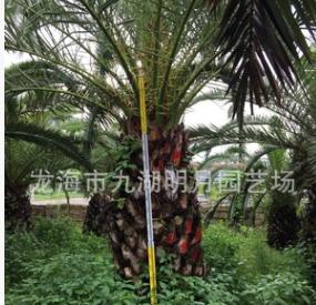加拿利海枣报价 海藻价格 杆高30~350cm 地径30~80cm 基地直销