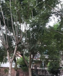 福建蓝花楹 蓝雾树15~30cm 蓝花楹基地 蓝花楹袋苗 各种规格批发