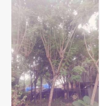福建蓝花楹 蓝雾树10~30cm 蓝花楹基地 蓝花楹袋苗 各种规格批发