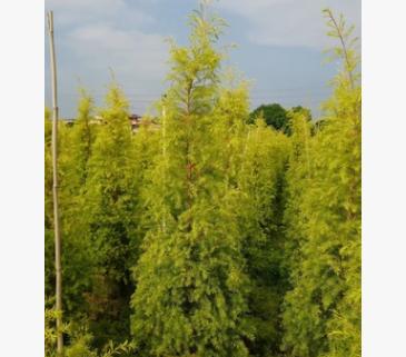 【园林绿化】黄金香柳自然型 黄金宝树 千层金 各种规格批发直销