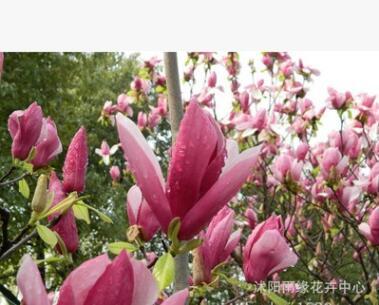紫玉兰 黄玉兰 白玉兰 玉兰树