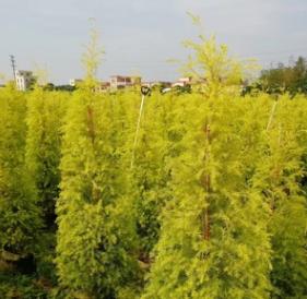 【园林绿化】黄金香柳塔型 黄金宝树 千层金 各种规格批发直销