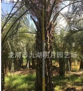 【园林绿化】布迪椰子 耐寒植物 头径30~40cm 杆高1~3米 基地直销
