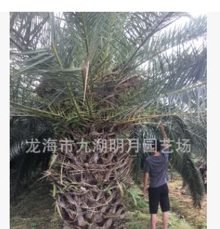 【园林绿化】精品加拿利海枣 头径30~80cm 杆高30~350cm基地直销