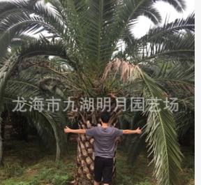 【园林绿化】加拿利海枣头 地径30~80cm 杆高30~350cm 基地直销