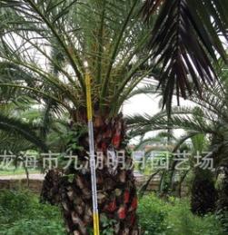 加拿利海枣 海藻 杆高30~350cm 地径30~80cm 基地直销