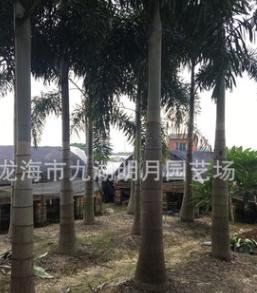 狐尾椰子种植 地径25~40cm 杆高1~6米 耐寒植物 基地直销