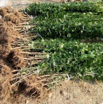 基地直销小叶黄杨 品种齐全 规格齐全 量大齐全 北海道黄杨