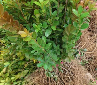 瓜子黄杨苗批发 工程绿化苗木 行道彩色绿篱观叶 小叶黄杨 规格全