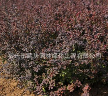 红叶小檗苗圃批发庭院紫叶小檗小苗成品苗 工程道路小区绿化 绿篱