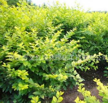 水蜡树苗绿化苗木色块绿篱四季常青行道点缀量大从优水蜡苗直销