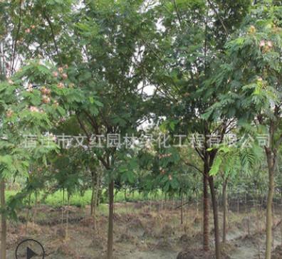 合欢树苗绿化苗木庭院观赏室内盆栽气味芳香量大从优合欢树苗直销