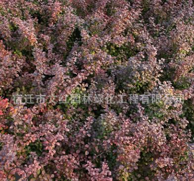 红叶小檗苗绿化苗木色块绿篱行道点缀庭院观赏量大从优红叶小檗苗