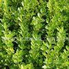 小叶黄杨苗绿化苗木色块绿篱四季常青行道点缀量大从优小叶黄杨苗