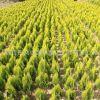 洒金柏苗绿化苗木色块绿篱行道点缀庭院观赏量大从优洒金柏苗直销