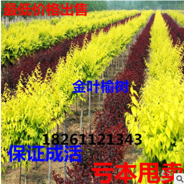 批发 金叶榆树苗 黄金榆苗 辟邪树黄金榆枝叶金黄色 榆树盆景榆树