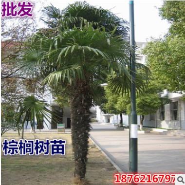 批发棕榈树苗 扇子树 招财树 棕榈苗 老人葵 加州蒲葵盆栽 箬棕