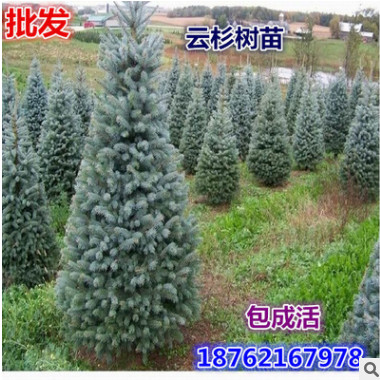 批发绿化苗木供应 云杉小苗 云杉树苗 云杉树 规格齐全价格低乔木