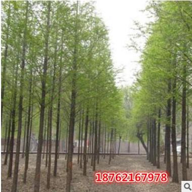 批发供应基地水杉树苗 水杉苗 金叶水杉小苗南北方种植行道树绿化