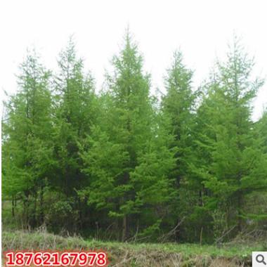 批发 基地直销供应 水杉树苗 水杉苗 金叶水杉小苗南北方种植绿化