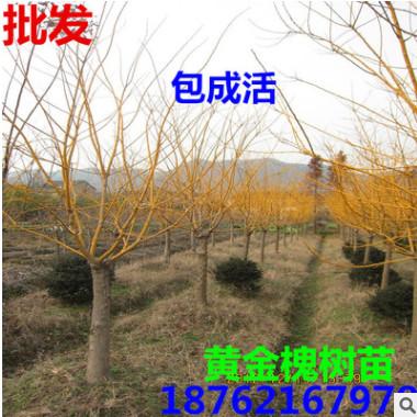 出售黄金槐树苗 嫁接黄金槐 金丝槐 金枝槐枝如黄金色 工程苗木