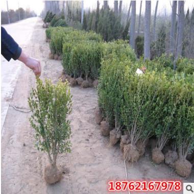 瓜子黄杨球 冬青球树床苗小大叶黄杨小苗绿化苗木批发供应基地