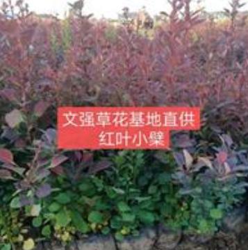 山东供应山东地区红叶小檗杯苗/红叶小檗杯苗的价格规格齐全