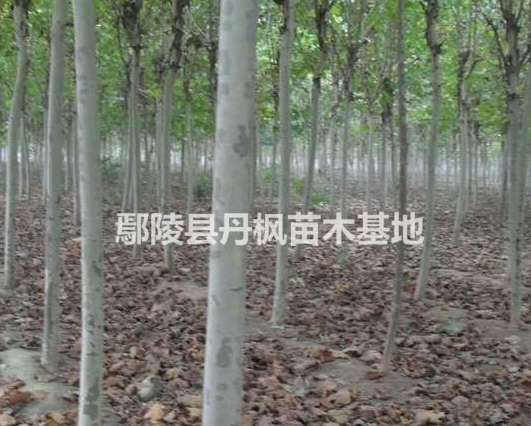 法桐,鄢陵优质法桐