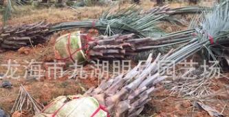 精品布迪椰子 头径30~40cm 杆高1~3米 耐寒植物 福建基地直销