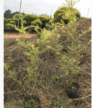 【园林绿化】黄金香柳 黄金宝树 千层金 各种规格批发直销