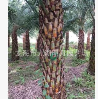 【园林绿化】福建银海枣杆高1m-7m 地径(头径)30~60cm 基地批发