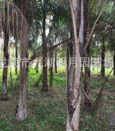 精品皇后葵 金山葵 耐寒植物 地径20~40cm 杆高1-3米 基地直销