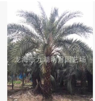 福建布迪椰子 头径30~40cm 杆高1~3米 基地直销 耐寒植物