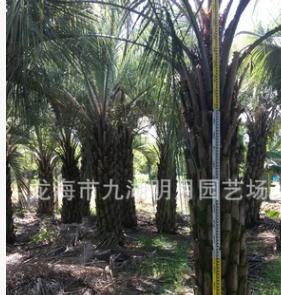 福建布迪椰子 耐寒植物 头径30~40cm 杆高1~3米 基地直销