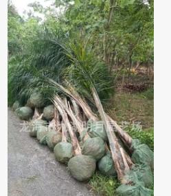 福建皇后葵 金山葵 耐寒植物 头径20~40cm 杆高1-3米 基地直销