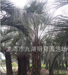 布迪椰子 耐寒植物 头径30~40cm 杆高1~3米 福建基地直销