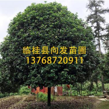 供桂花树15-20公分 广西精品大桂花 桂花树 广西四季桂