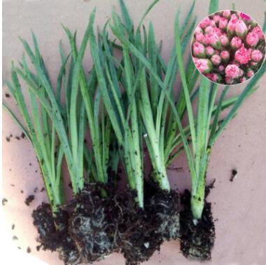 昆明产地批发康乃馨花苗鲜切花月季种苗客厅高存活率观赏植物耐寒