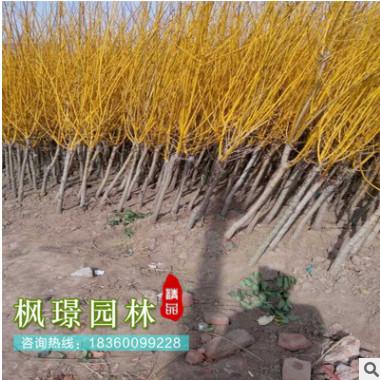直销黄金槐树苗 金枝槐 4-15厘米工程绿化公园风景树 量大优惠