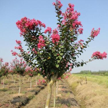 紫薇苗 红火箭紫薇树苗 红花百日红紫薇小苗 南北方种植 绿化树苗