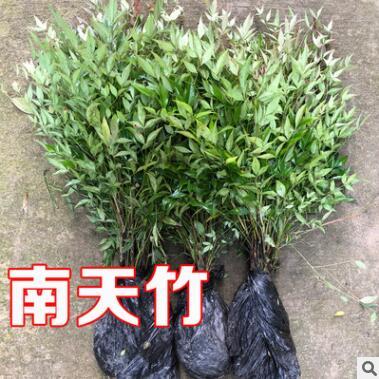 南天竹绿化苗木批发庭院植物绿化南天竹 天竺 南天竺 红天竹盆栽