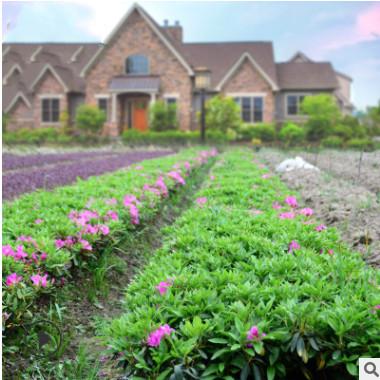 基地直销 毛杜鹃树木四季常青 庭院绿化工程花园植物庭院绿植花卉