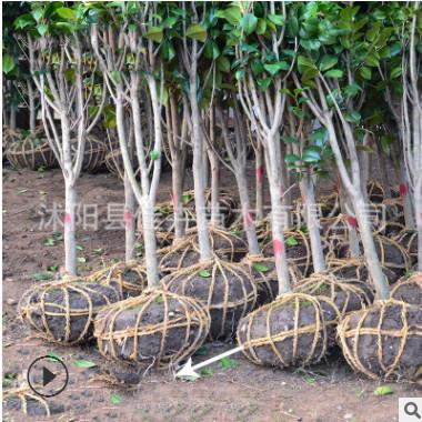 基地直销山茶花树 绿化工程行道耐寒茶花小区公园绿化树 量大优惠