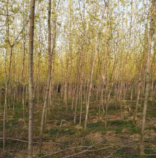 金叶复叶槭,北美海棠树苗